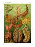 Gusanos Láminas por Ernst Haeckel