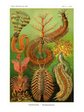 Worms Posters by Ernst Haeckel