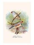 Zebra Finch Prints by F.w. Frohawk