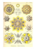 Polycytaria Radiolaria Posters av Ernst Haeckel