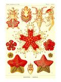 Sjöstjärna Posters av Ernst Haeckel