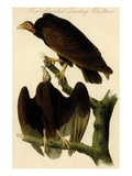 Red Headed Turkey Vulture Poster by John James Audubon
