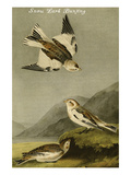 Snow Lark Bunting Posters by John James Audubon