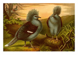 Crowned Pigeons Poster by F.W. Kuhnert