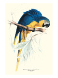 Hyacinthine Macaw - Hyacinthine Anodorhynchus Leari Posters by Edward Lear