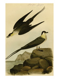 Arctic Jager Print by John James Audubon