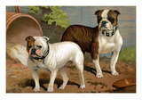 Bull Dogs Prints by Vero Shaw