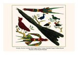 Grackle, Parrots, Cardinal, Red-Legged Honey Creeper, Speckled Tanger, Golden-Headed Manakin, etc. Prints by Albertus Seba
