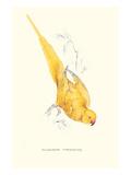 Rose Ringed Parrot (Yellow) - Psittacula Krameri Plakater af Lear, Edward