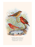Amaduvade Waxbill Prints by F.w. Frohawk