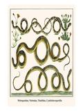 American Snakes Posters by Albertus Seba