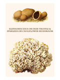Elephomycesus or Deer Truffle and Sparassis or Cauliflower Mushroom Print by Edmund Michael