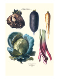 Vegetables; Rhubard, Tubers, and Cabbage Prints by Philippe-Victoire Leveque de Vilmorin