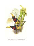 Brown Mandibled Aracari Posters by John Gould