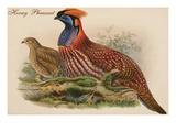 Horny Pheasant Prints by John Gould