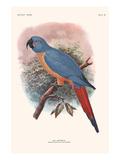 Ara Erythrura Posters by Lionel Walter Rothschild