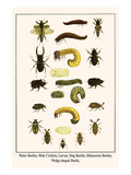 Water Beetles, Mole Crickets, Larvae, Stag Beetles, Rhinoceras Beetles, Wedge Shaped Beetle, Posters by Albertus Seba