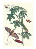 Bellyache Bush with a Giant Sphinx Moth and a Metalmark Butterfly Poster af Maria Sibylla Merian