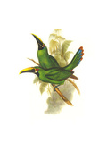 Black Throated Toucanet Prints by John Gould