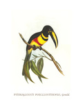 Many-Banded Aricari Poster by John Gould