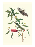 Primrose Willow or Water Purslane with a Banded Sphinx Posters by Maria Sibylla Merian