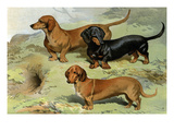 Dachshunds Prints by Vero Shaw