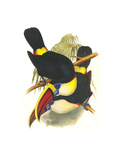Whie-Throated or Red-Bulled Toucan Art by John Gould