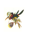 Ivory Billed Aracari Prints by John Gould