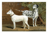 Bull Terrier and Dalmation Poster by Vero Shaw