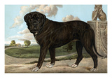 Mastiff Prints by Vero Shaw