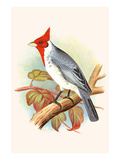 Red Crested Cardinal Prints by F.w. Frohawk