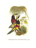 Red Necked or Double Collared Aracari Affiches par John Gould