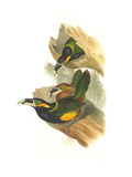 Gould's Toucanet Posters by John Gould