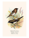 Striated Finch and Sharp Tailed Finch Posters by F.w. Frohawk