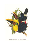 Choco Toucan Print by John Gould