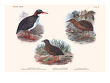 Hypotaeenidia Pacifica, Penula Sandwichensis, Pennula Millsi Prints by Lionel Walter Rothschild