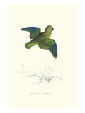 Collared Parakeet - Bolbopsittacus Lunulatus Posters by Edward Lear