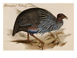 Guineafowl Vulture Posters by John Gould