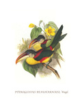 Red Necked or Double Collared Aracari Posters by John Gould