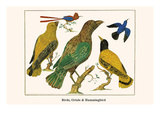 Birds, Oriole and Hummingbird Prints by Albertus Seba