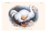 Didus Solitarius Dodo Posters by Lionel Walter Rothschild