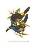 Plate Billed Mountain Toucan Prints by John Gould