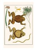 Giant Toad, Tree Frog and Centipede Posters by Albertus Seba