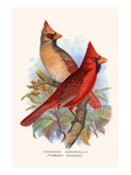 Virginian Cardinal Prints by F.w. Frohawk