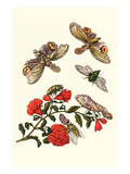 Sundown Cicada and a Peanut-Headed Lantern Fly Print by Maria Sibylla Merian