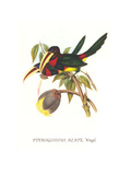Ivory Billed Aracari Posters by John Gould