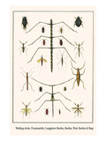 Walking Sticks, Praymantids, Longghorn Beetles, Beetles, Watr Beetles and Bugs Prints by Albertus Seba