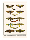 Death's Head Hawkmoth, Occult Sphinx, Guady Spinx Moth, Caterpillar Posters by Albertus Seba