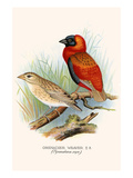 Grenadier Weaver Prints by F.w. Frohawk