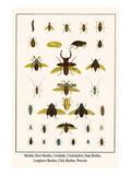 Beetles, Rove Beetles, Carabids, Cockchafers, Stag Beetles, Longhorn Beetles, Click Beetles, Weevel Art by Albertus Seba